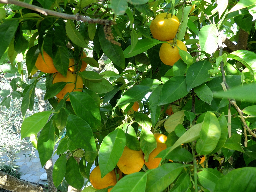 eigene Orangen