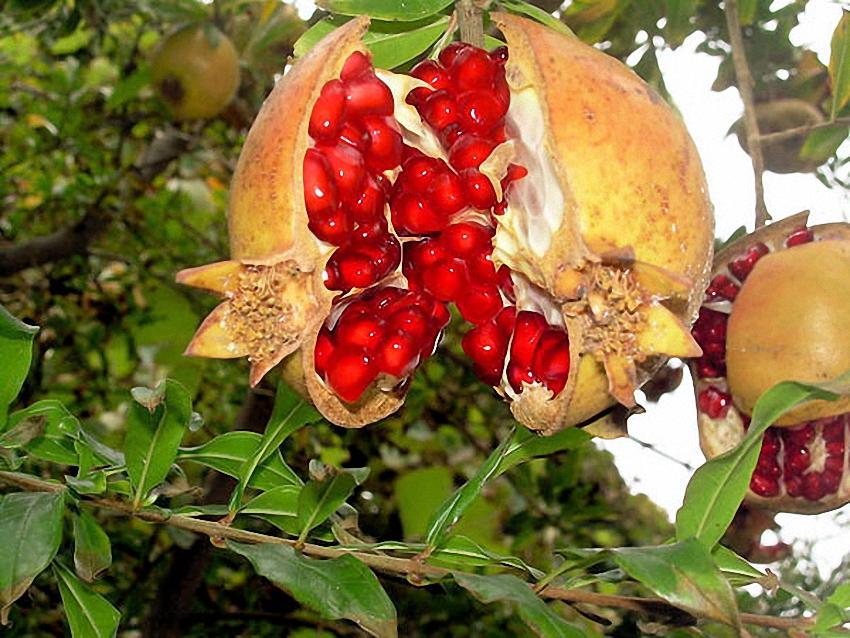 Eigene Granatapfel